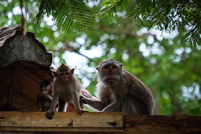 Macaques @ Padang Padang Beach