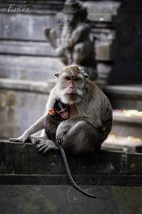 Macaque @ Padang Padang Beach