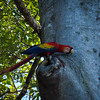 Scarlet Macaw on the Nest