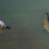 Great Blue Heron & Croc