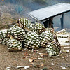 Agaven zur Mezcal-Destillation<br /> Agave prepared for the mezcal production