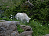 Glacier National Park   , Goats
