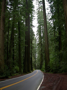 California Redwoods  ,Avenue of the Giants
