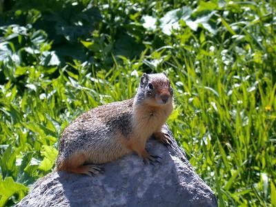 ColumbianSquirrel - Version 2
