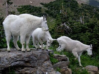 Goats - Version 2