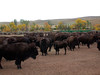 Bison Roundup in Custer SP  Custer State Park  Buffalo Roundup at Custer State Park: