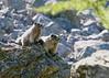 Two Marmots  Lake O'hara