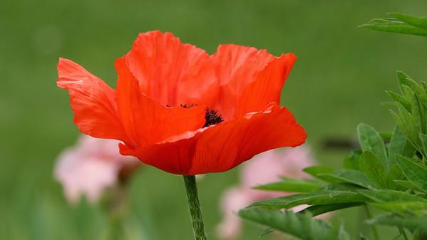 Poppy16x9.5729