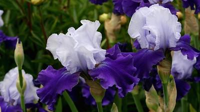 PurpleIris16x9.5750