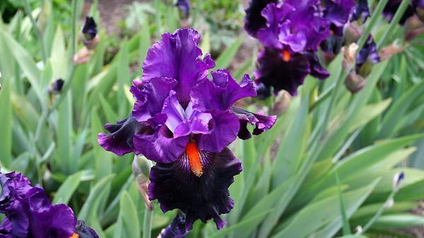 PurpleIris16x9.5673