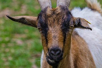 One of the many miniature goats for sale primarily as pets.