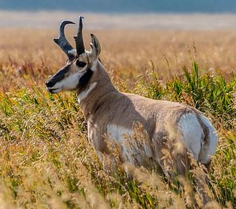 Prawn Horn Antelope