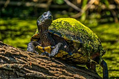Florida Freshwater Turtle