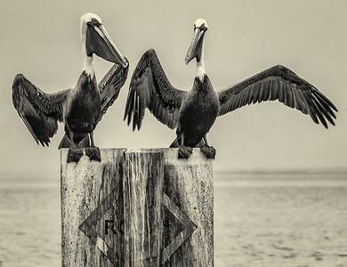 Pelican Standoff