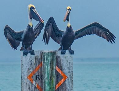 Pelican Standoff in Technocolor