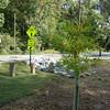 Bald cypress along Cannon Creek Bike Trail