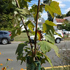 Red maple in median at 4402 Brook Rd. Codominant leaders begin at the point where the tree has emerged from the tube. A number of sheltered trees were found to have this condition.