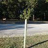 Willow oak in median of Forest Hill Park parking lot.