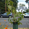 Corrective pruning easily corrected codominant leader development on this red maple.