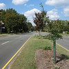 Willow oak in median near 3902 Brook Rd. Found all 4 trees planted along Brook Rd to be growing vigorously. Heights ranged from 7-10 ft.