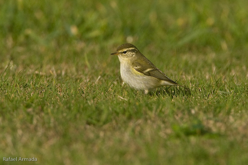 Yellow-browed Warbler (Pylloscopus inornatus). Sein Island (Bretagne, France), October 2009.<br /> Esp: Mosquitero bilistado<br /> Cat: Mosquiter de doble ratlla