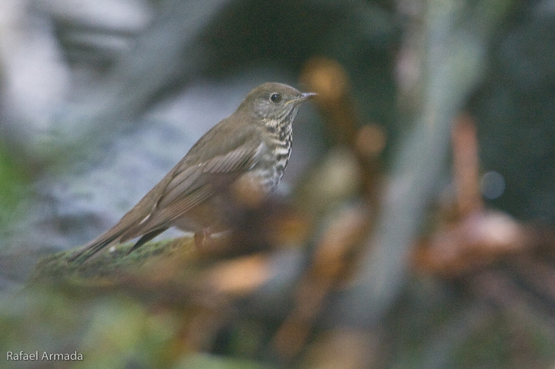Grey-cheeked Thrush (Catharus minimus). Corvo Island (Azores, Portugal), October 2007