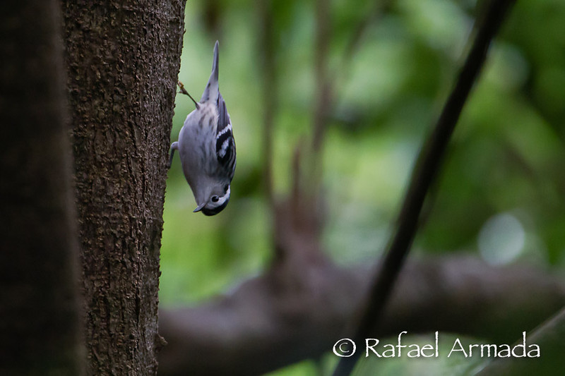 Black and White Warbler (Mniotilta varia)<br /> Corvo (Azores, Portugal), 10.2013