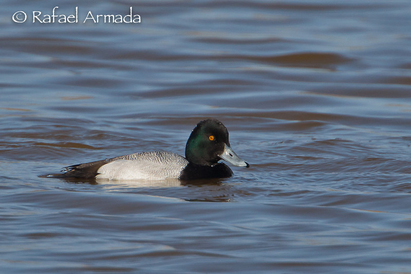 Lesser Scaup (Aythya affinis), male. Llobregat Delta (Barcelona, Spain), March 2011.<br /> Esp: Porrón Bola<br /> Cat: Morell menut