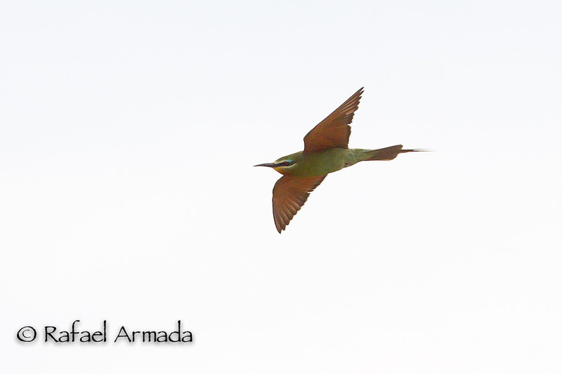 Blue-cheeked Bee-eater (Merops persicus). Delfià (Girona, Catalonia, Spain), August 2012.<br /> Esp: Abejaruco persa