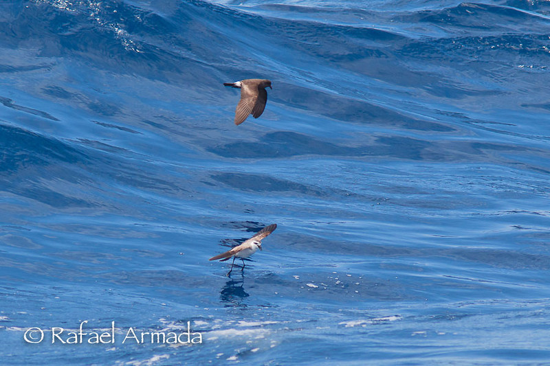 White-faced Storm-petrel (Pelagodroma marina). 40 miles off Lanzarote (Canary Islands, Spain), september 2011.<br /> Esp: Paiño pechialbo