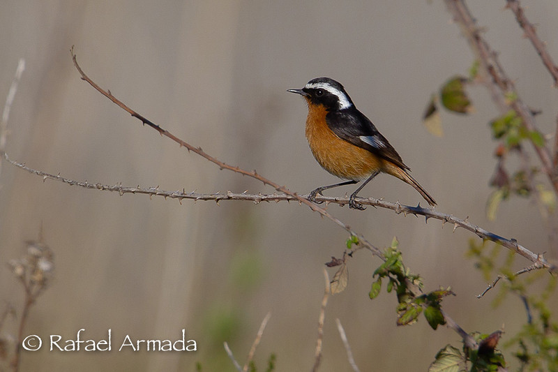 Moussier's Redstart (Phoenicurus moussieri), Male.