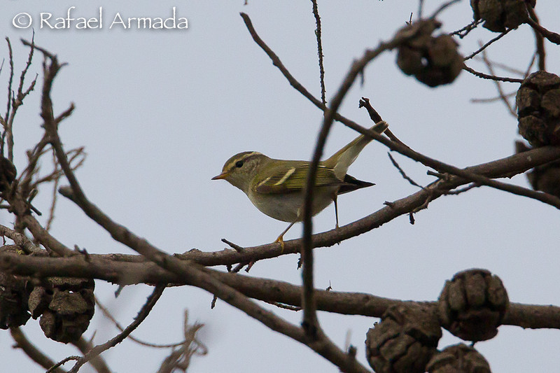 Yellow-browed Warbler (Phylloscopus inornatus). Llobregat delta (Barcelona, Spain), October 2012.<br /> Esp: Mosquitero bilistado<br /> Cat: Mosquiter de doble ratlla