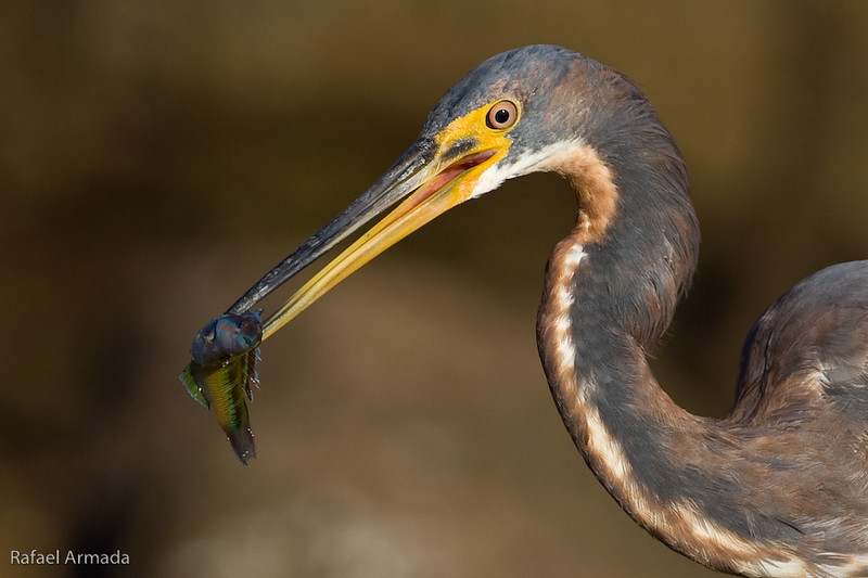 Tricoloured Heron (Egretta tricolor), 1st Winter. Tenerife (Canary Islands, Spain), February 2008.<br /> Esp: Garceta tricolor