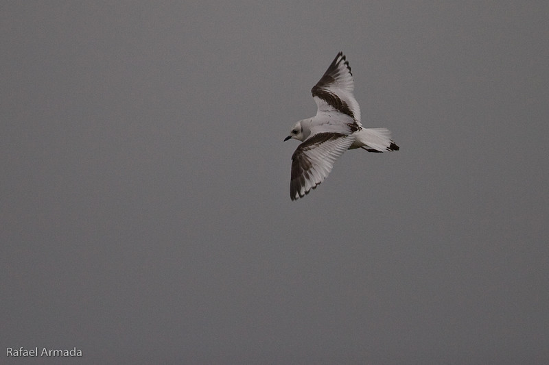 Ross's Gull (Rhodostethia rosea), 1st Winter. Ormsary (Argyll, Scotland), December 2006<br /> Esp: Gaviota de Ross
