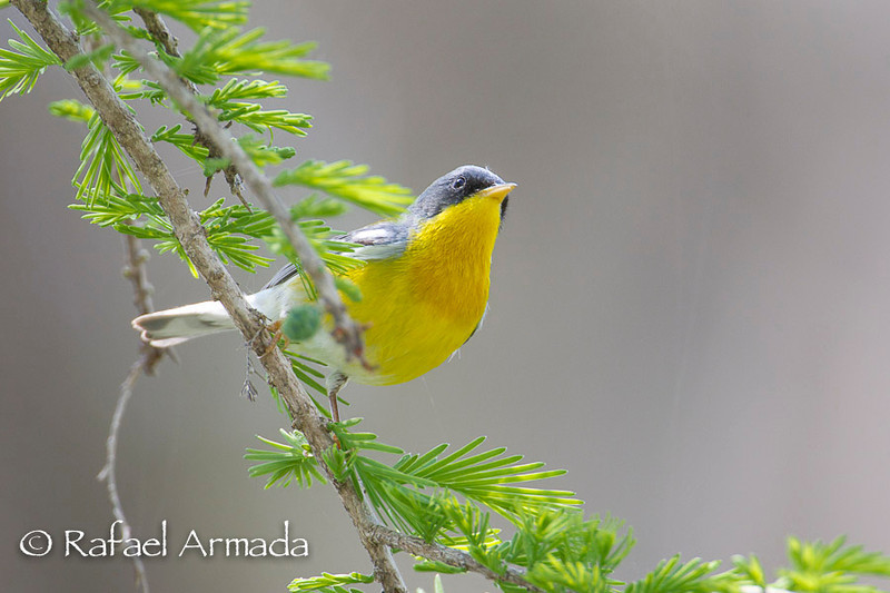 Tropical Parula (Setophaga pitiayumi). Neal's Lodge (Uvalde, Texas, USA), April 2012.