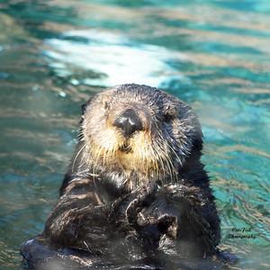 M 25 coaster  sea otter
