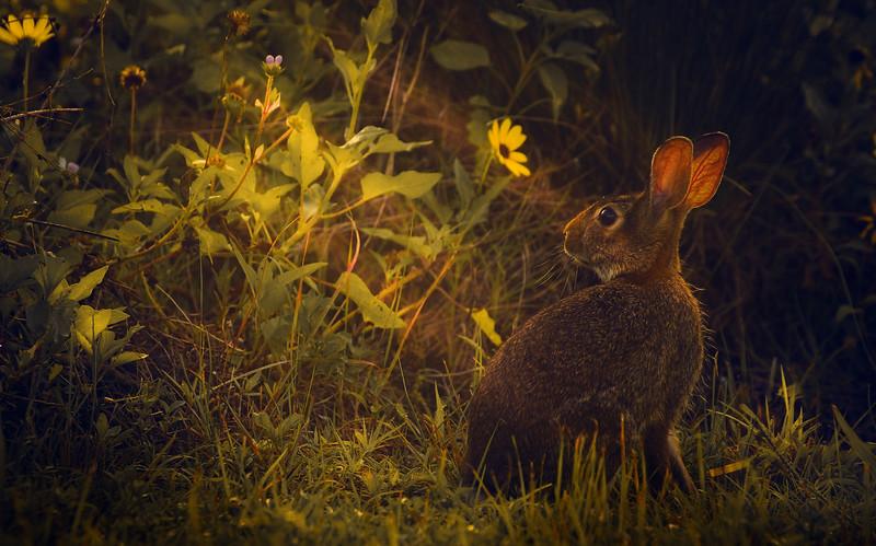 Florida Marsh Rabbit - 15.jpg