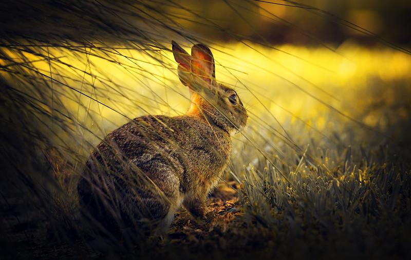 Florida Marsh Rabbit - 2.jpg
