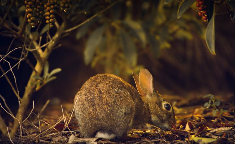 Florida Marsh Rabbit - 16.jpg