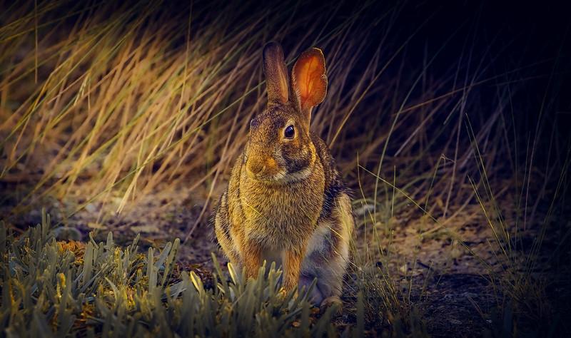 Florida Marsh Rabbit - 7.jpg
