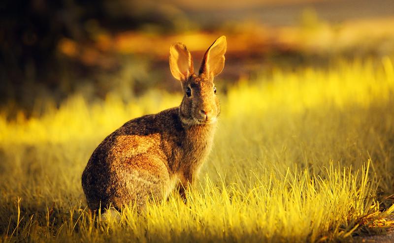 Florida Marsh Rabbit - 14.jpg