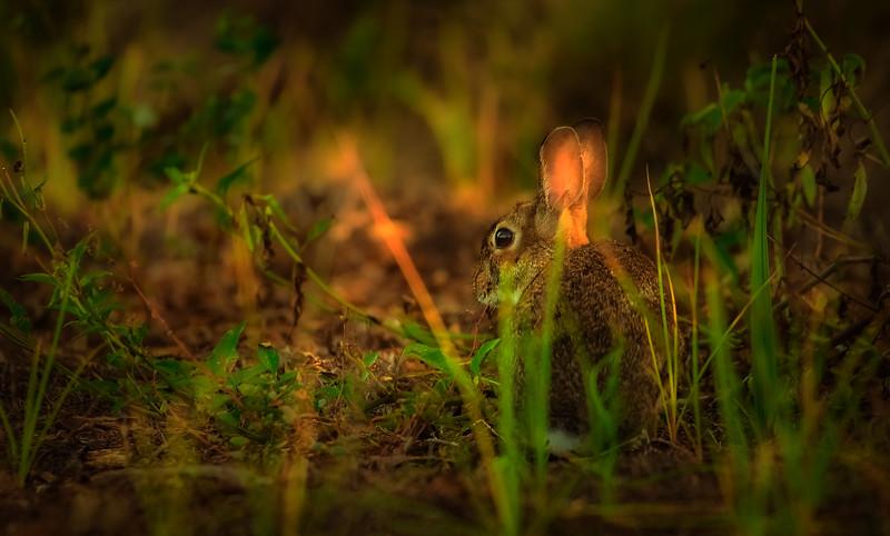 Florida Marsh Rabbit - 5.jpg