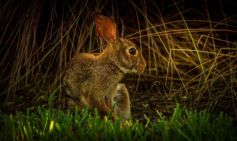 Florida Marsh Rabbit - 8.jpg