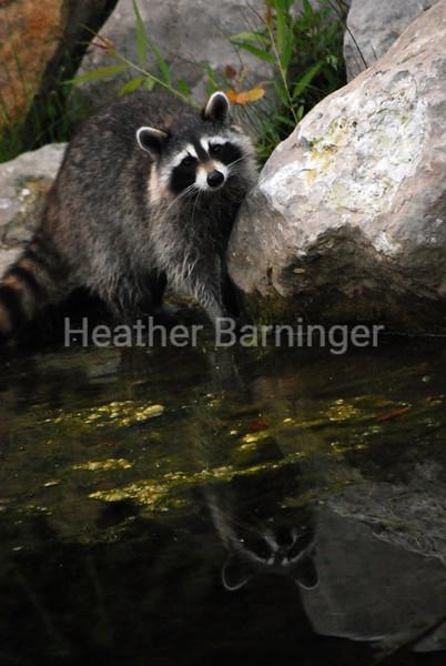 Raccoon in the Early Morn