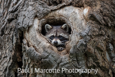 Young raccoon kit looking out of the den
