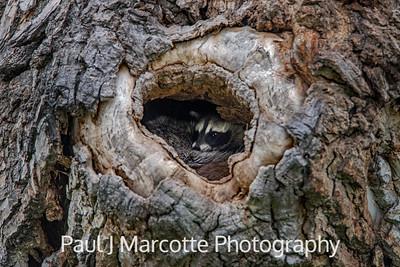 New Raccoon resting its chin on Mama