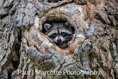 Mama Raccoon
