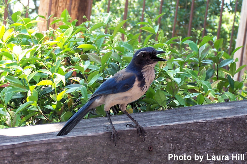 We are harrassed by a Western Scrub Jay and a couple of Stellar's Jays who are panting in the heat.