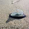 By-the-wind Sailor (Velella velella)