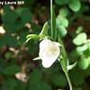 White Globe Lily (calochortus albus)
